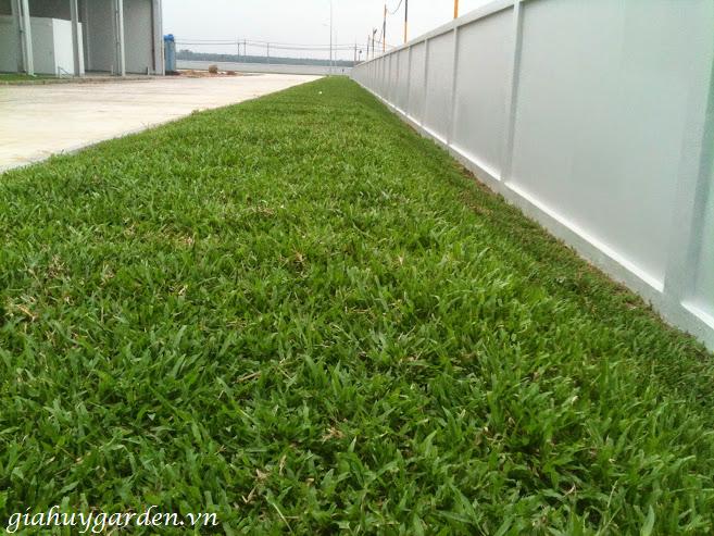 cách-trồng-cỏ-lá-tre Cây Cỏ Lá Tre - Cây Công Trình