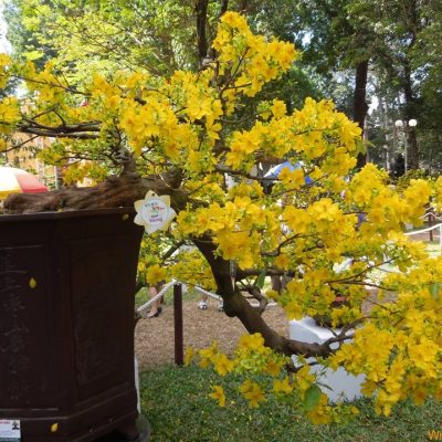 Bán cây Hoa Mai Vàng – Cây Nội Thất trồng tết 2018