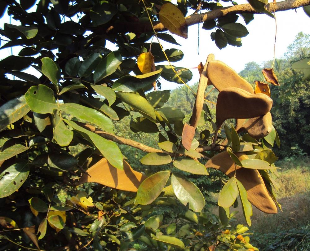 ky-thuật-trồng-cây-căm-xe Cây Căm Xe - Cây Bóng Mát
