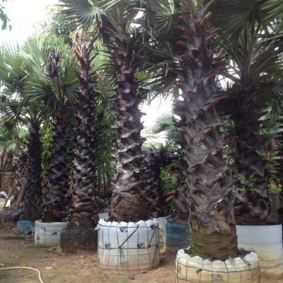 kỹ thuật trồng cây thốt nốt