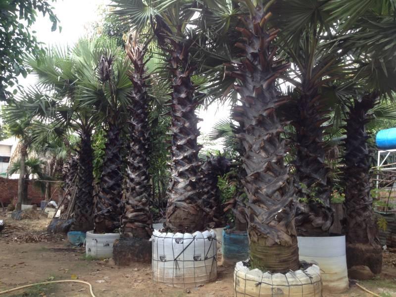 cây-thốt-nốt-công-trình-giá-rẻ Bán cây Thốt Nốt - Cây công trình
