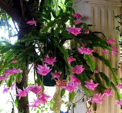 Bán cây Hoa Nhật Quỳnh – Cây Phong Thủy giá rẻ tại Hà Nội