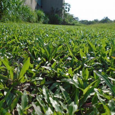 tác dụng cỏ lá tre