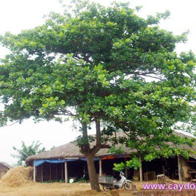 Bán cây Bàng Ta – Cây Công Trình