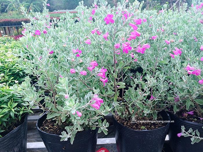 trồng cây tuyết phi sơn hồng