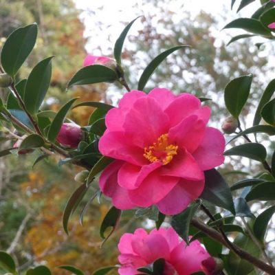 Bán cây Hoa Trà chơi tết 2018 đẹp và ý nghĩa