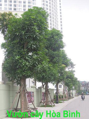 cây xoài công trình