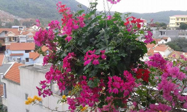 nghĩa_cây_phong_lữ_thảo Bán cây Hoa Phong Lữ Thảo trồng tết đẹp và ý nghĩa