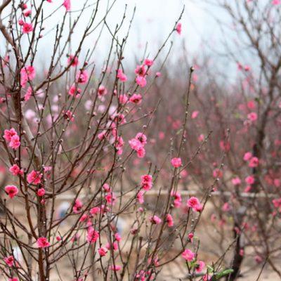 Bán cây Hoa Đào cảnh đẹp – Cung cấp cây trồng tết tại Hà Nội