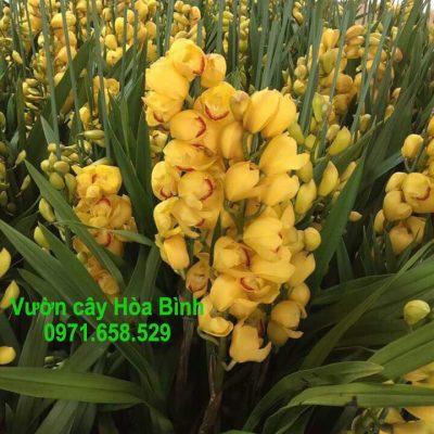 Bán cây Hoa Địa Lan trồng tết 2018