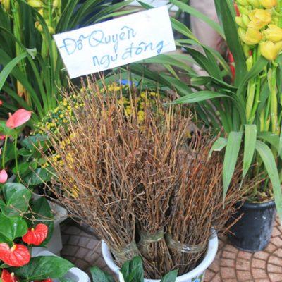 Bán cây Đỗ Quyên cung cấp cây trồng 2018