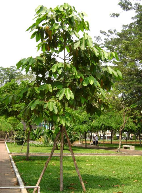 c_điểm_cây_dầu_rái Bán cây Dầu Rái - Cây công trình giá rẻ Hà Nội