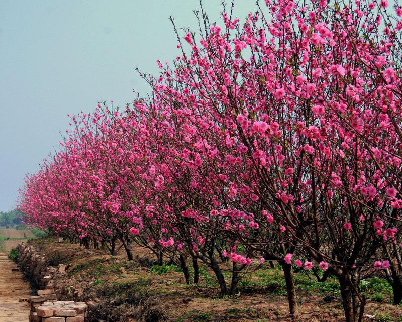 cây_đào_ngày_tết Bán cây Hoa Đào cảnh đẹp - Cung cấp cây trồng tết tại Hà Nội