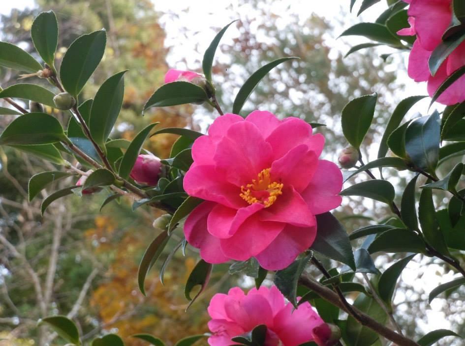 cách__chăm_sóc_hoa_trà Bán cây Hoa Trà chơi tết 2018 đẹp và ý nghĩa