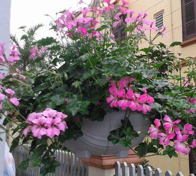 Bán cây Hoa Phong Lữ Thảo trồng tết đẹp và ý nghĩa