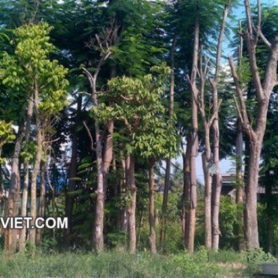 Bán cây Sấu Công Trình tại Hà Nội