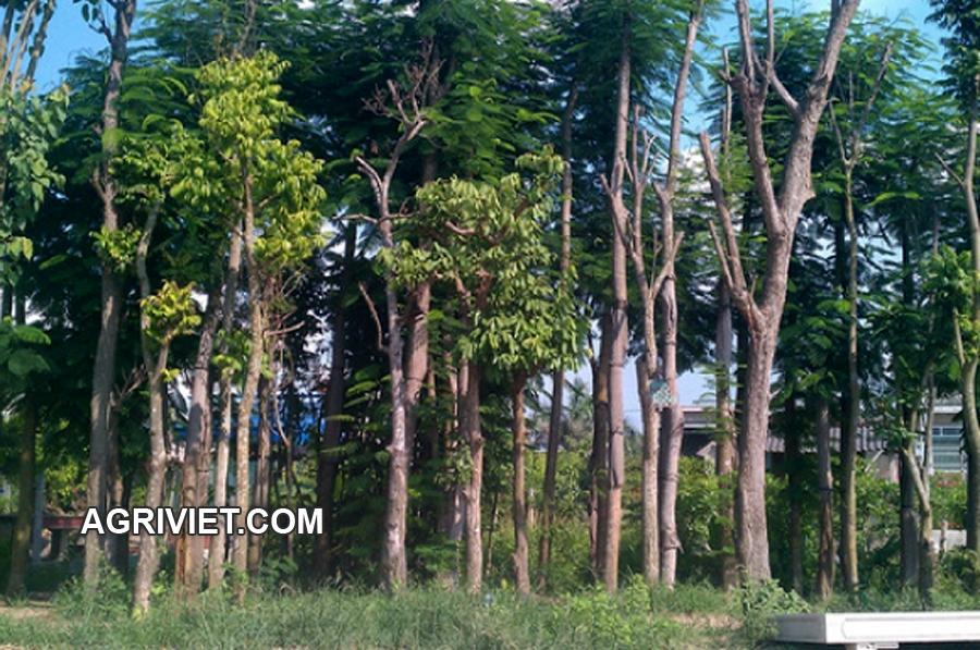 cây_sấu_ăn_quả Bán cây Sấu Công Trình tại Hà Nội