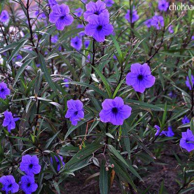 Bán cây Hoa Chiều Tím – Cây trồng công trình