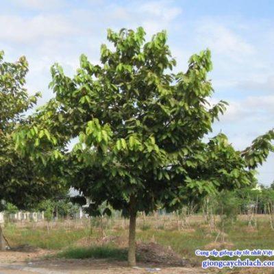Bán cây Dầu Rái – Cây công trình giá rẻ Hà Nội