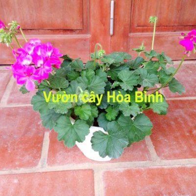 nghĩa cây phong lữ thảo 1 400x400 - Bán cây Hoa Phong Lữ Thảo trồng tết đẹp và ý nghĩa