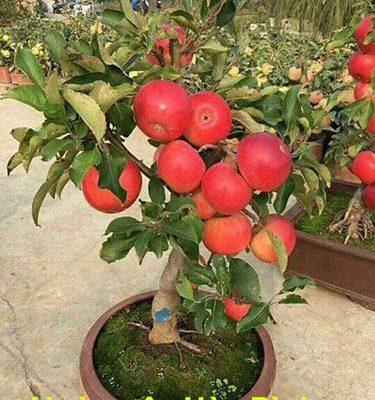 Ý Nghĩa cây táo tây