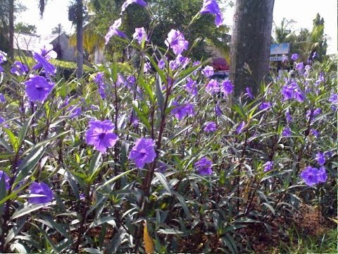 nghĩa_hoa_chiều_tím Bán cây Hoa Chiều Tím - Cây trồng công trình