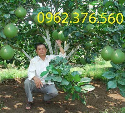 11 10 47 unnmed 1403149475626 400x361 - Bán cây bưởi công trình giá rẻ Hà Nội