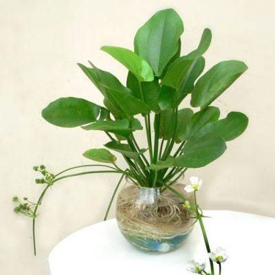 Bán cây Hoa Bách Thủy Tiên trồng ngoại thất