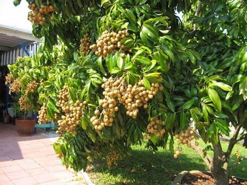bán_cây_nhãn Bán cây Nhãn trồng đầu năm 2018
