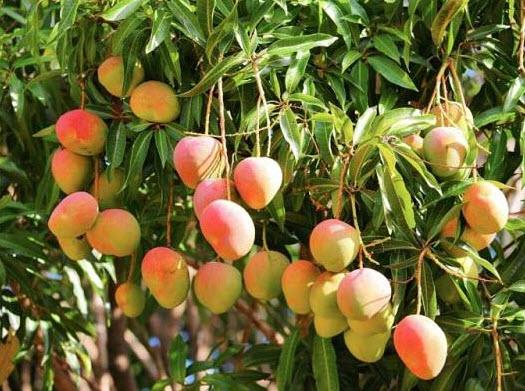 Địa chỉ bán cây xoài giá rẻ uy tín, chất lượng - Bảo hành 12 tháng