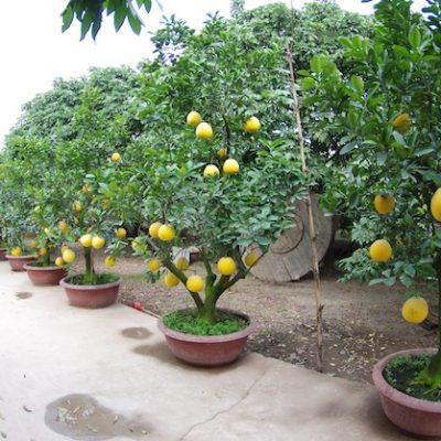cây_bưởi_bonsai_giá_rẻ_Hà_Nội