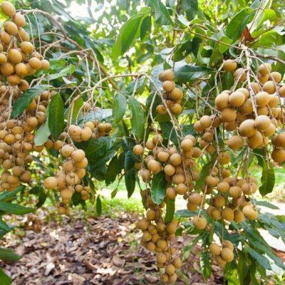 Bán cây Nhãn trồng đầu năm 2018