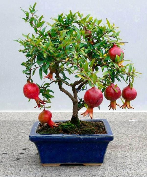 lựu_bonsai