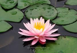 Bán cây Hoa Súng trồng dưới nước đẹp và ý nghĩa