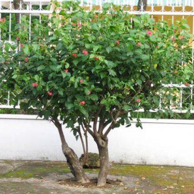 Cây Hồng Mai loại cây ý nghĩa phong thủy về ngoại thất 2018