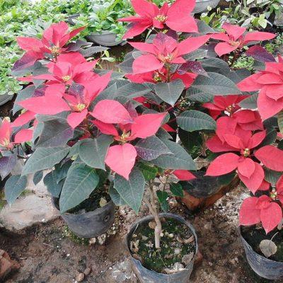 Cây Hoa Trạng Nguyên loại cây trồng ngoại thất đẹp và ý nghĩa