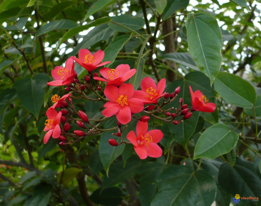 cây_hồng_mai