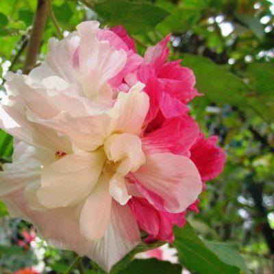 Cây Phù Dung loại cây trồng ngoại thất đẹp và ý nghĩa