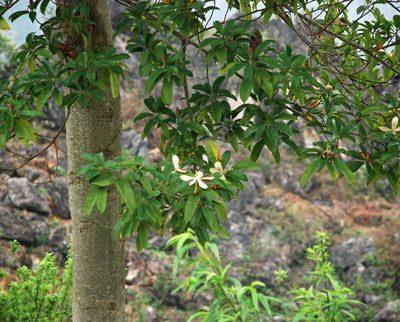 Cây Mỡ Vàng Tâm một trong 10 loại cây gỗ kinh tế nhất hiện nay
