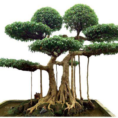 Cách chơi cây Sanh phong thủy độc và lạ mắt tại Hà Nội
