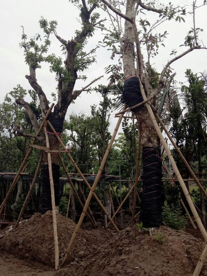 cay-voi-cong-trinh-3 Bán cây Vối Công Trình giá rẻ Hà Nội