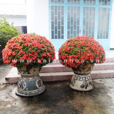 Bán cây Hoa Trang Đỏ ngoại thất giá rẻ Hà Nội