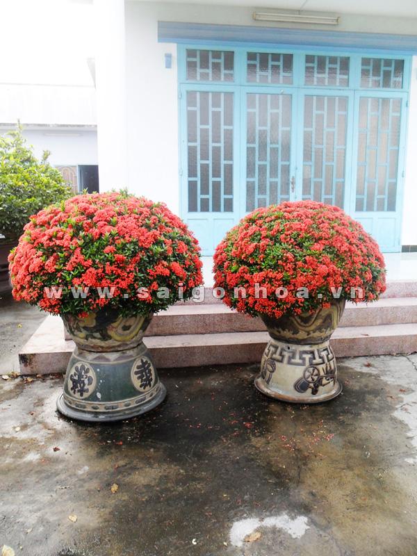 nghĩa_cây_trang_đỏ Bán cây Hoa Trang Đỏ ngoại thất giá rẻ Hà Nội
