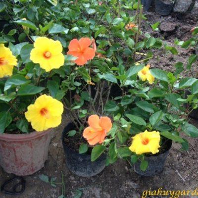Top 10 loại Hoa Dâm Bụt đẹp và mang ý nghĩa cho người chơi