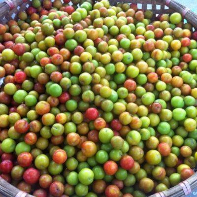 Bán cây Mận ăn quả đầu xuân năm mới giá rẻ