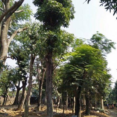 Cây Sấu Công Trình