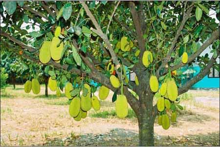 Bán cây mít giá rẻ, uy tín, chất lượng - Bảo hành 12 tháng