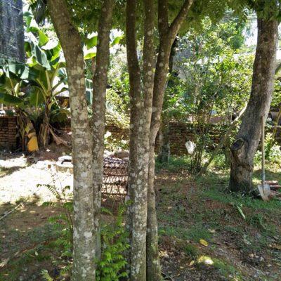 cay khe co thu 400x400 - Bán cây khế công trình - cây khế cổ thụ đảm bảo chất lượng