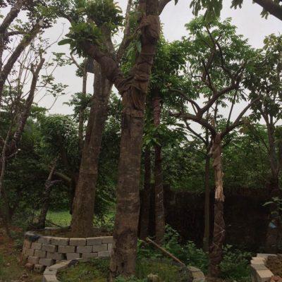 cay xoai cong trinh gia re ha noi 400x400 - Bán cây xoài công trình - cây xoài cổ thụ cam kết chất lượng uy tín