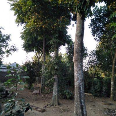 Mua, bán cây công trình giá rẻ – Vườn cây Hòa Bình